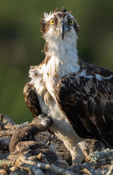 osprey nest 4 21 20-203.jpg