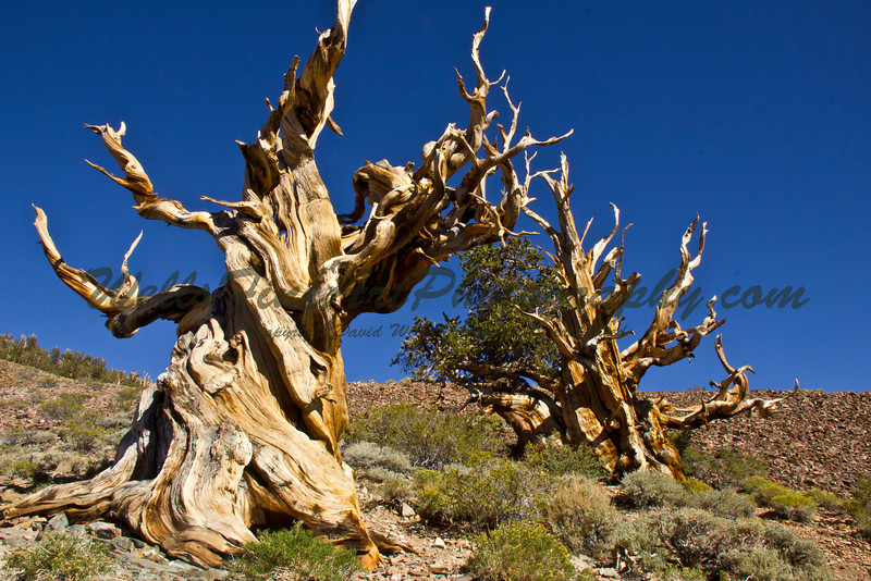 Two ancient bristlecone pines