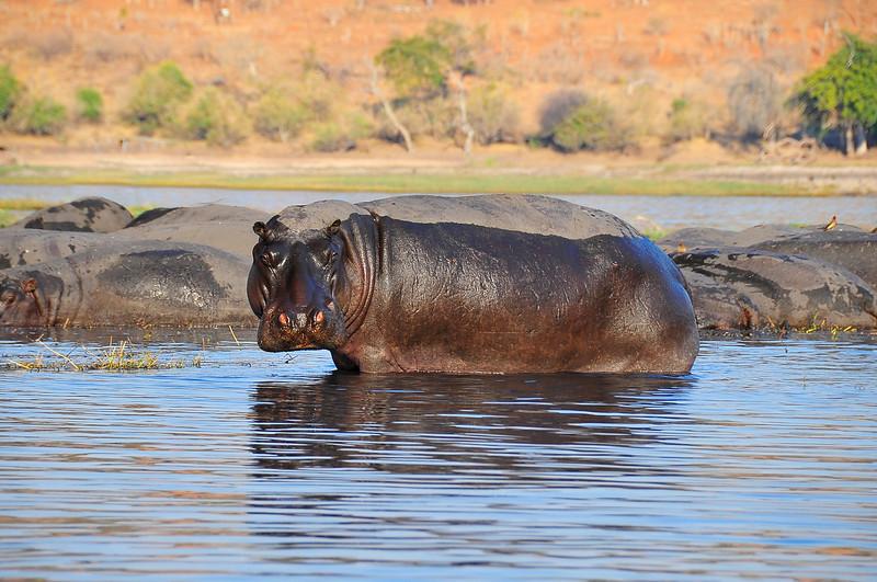 EPV0257 Hippo.jpg
