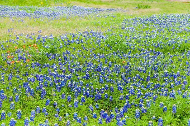 2015_4_3 Texas Wildflowers-7524.jpg
