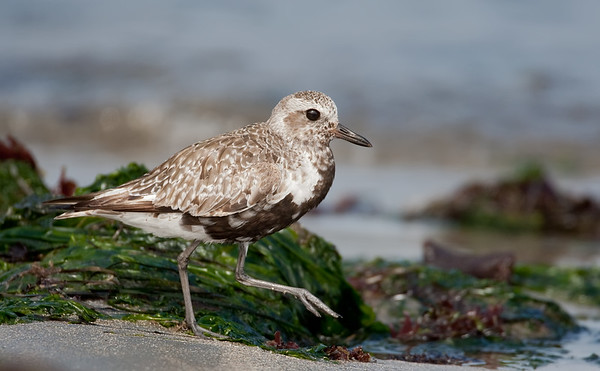 Blackbellied Plover