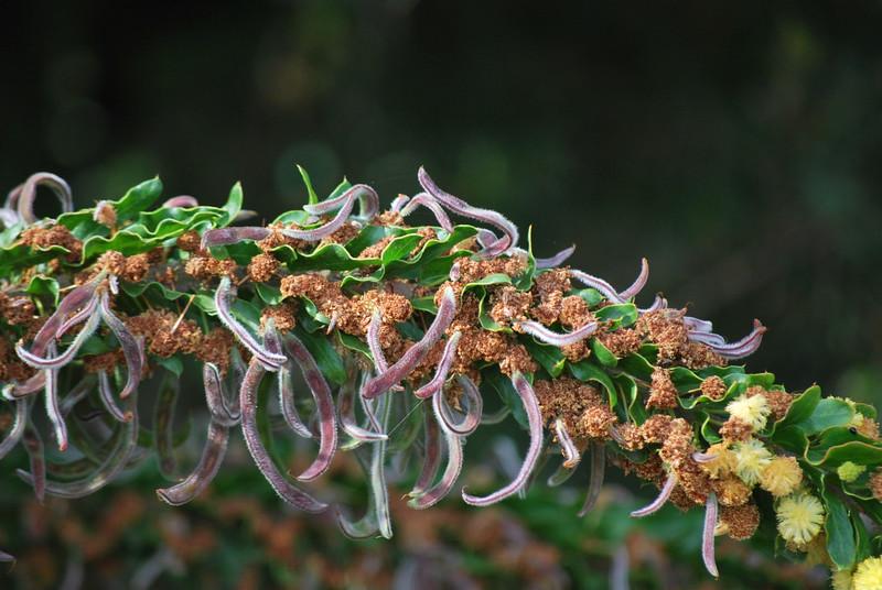 Acacia paradoxa - Seed Pods