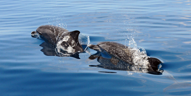 Offshore Dolphins July 2014 MMGINC.jpg