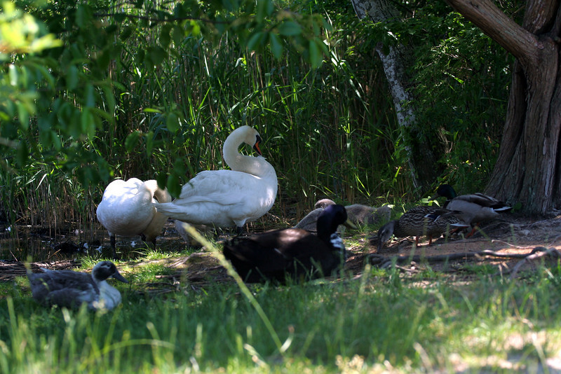 Life at the duck pond, Brook Road, Westhampton Beach, NY.