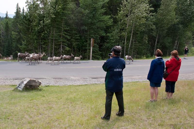 Tourists and Bighorn Sheep