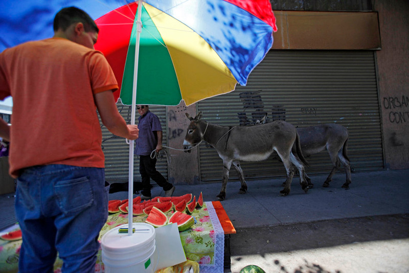 . In this Dec. 13, 2914, Ricardo Alegria walks his donkeys past a watermelon stand as he works to sell their fresh milk in Santiago, Chile. Ricardo Alegria said the milk is taken as a vitamin jolt for babies with gastric problems, and researchers at the University of Camerino in Italy have reported it can be a good substitute for children with allergies to cow\'s milk. But adults too often drink it. (AP Photo/Luis Hidalgo)