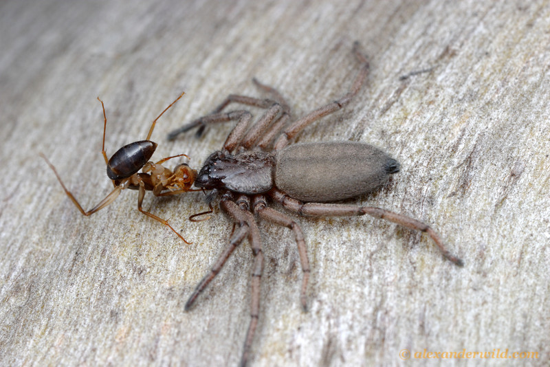 A Camponotus forager falls prey to a Hemicloea flat bark spider in the Australian mallee.
