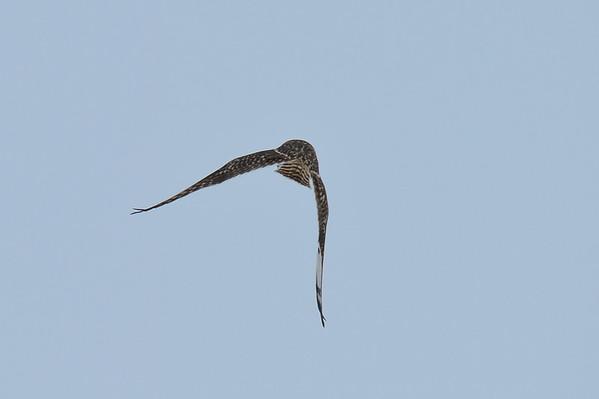 3 2013 Mar 8 Short-eared Owls In Flight