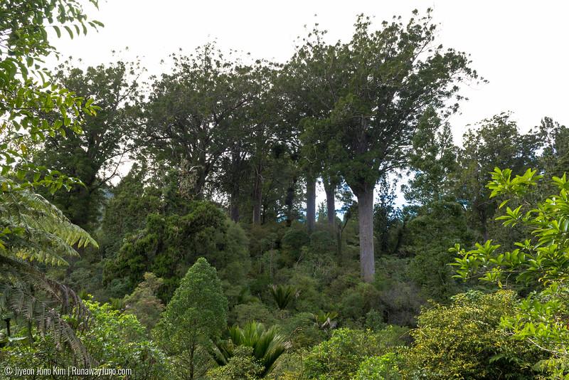 Waiau Falls Scenic Reserve Kauri grove