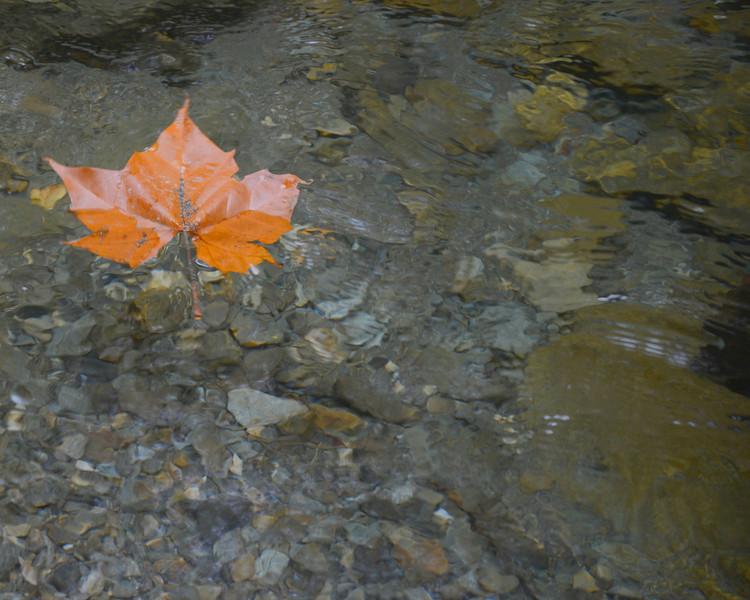 Maple leaf afloat.jpg