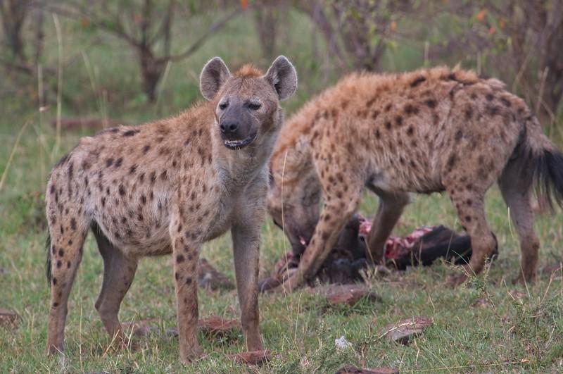 Hyena at a kill, Naboisho Conservancy