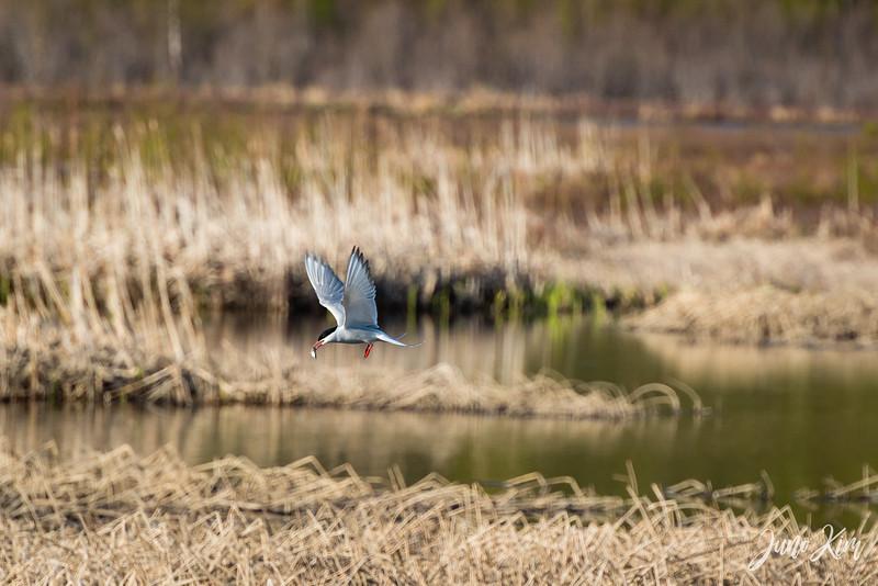 2020-05-12_Potter Marsh bird-_6109715-Juno Kim.jpg