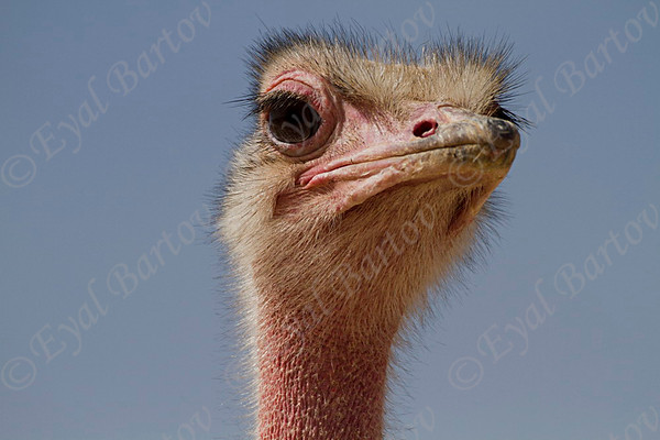 יענים-  Ostrich (Struthio camelus)