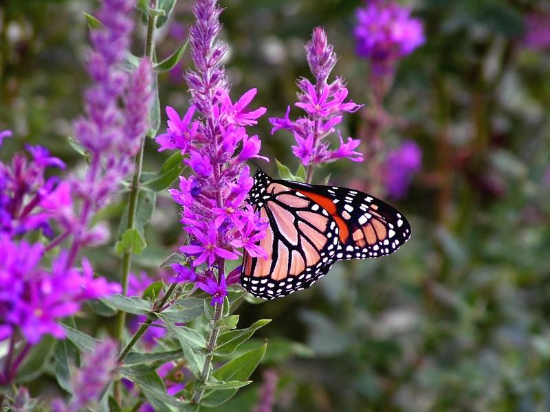 + Butterfly 015.JPG