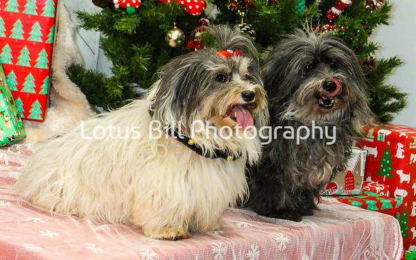 Havanese Jack & Lola