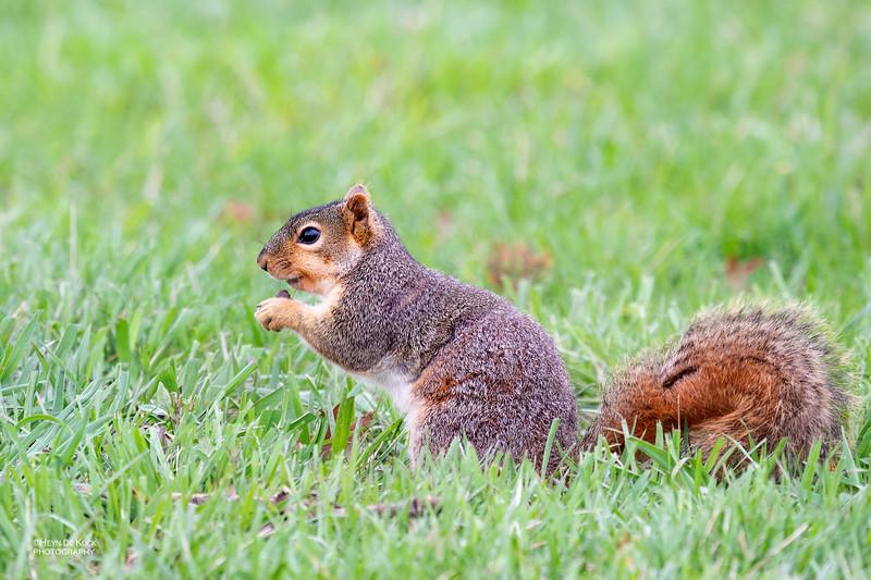 Eastern Fox Squirrel, Standing Bear Lake, Omaha, NE, US, May 2018-2.jpg