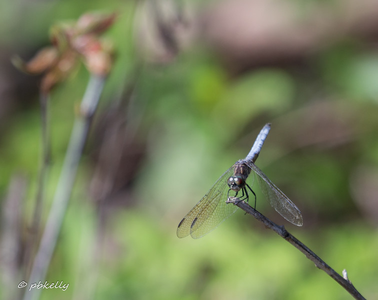 4-26-17.  This mature Blue Dasher, Pachydiplas longipennis,  was remarkable for being 4-6 weeks earlier than usual.  I only saw the one and only saw him once.