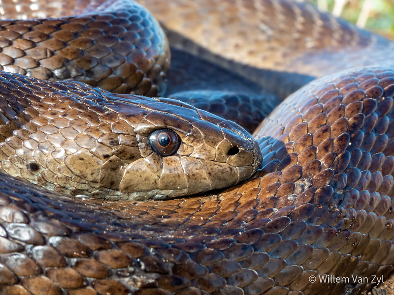 20200529 Mole Snake (Pseudaspis cana) from Lamberts Bay, Western Cape