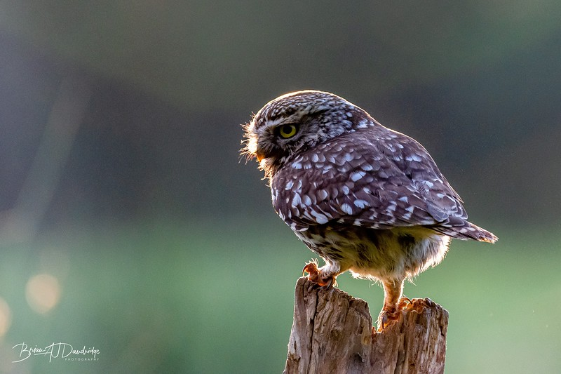 The Little Owl Shoot-6047.jpg