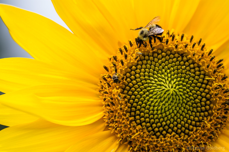 a bee and a sunflower