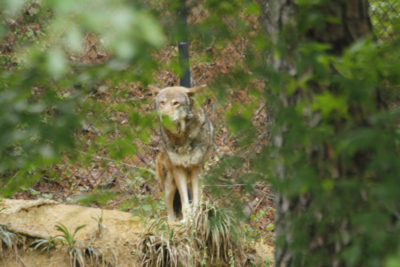 male red wolf listening for his breakfast
