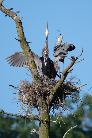 Heron Rookery & Great Meadows Concord 8-June-2019