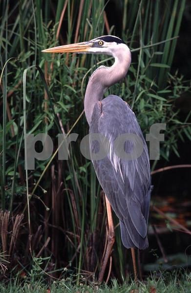 Gr blue heron v.jpg