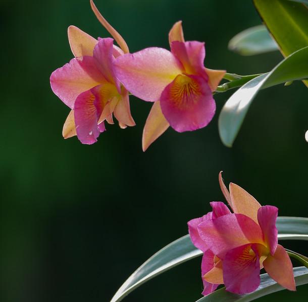 orange pink orchids