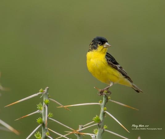 Lesser Goldfinch LL.jpg