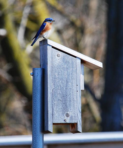 bluebird DSC_0044.jpg