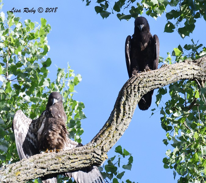 Juvenile Bald Eagles (siblings)  - 6/26/2018 - Decorah, Iowa, Fish Hatchery