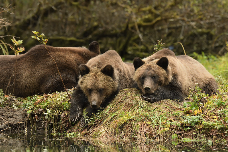 Grizzly cubs and sow