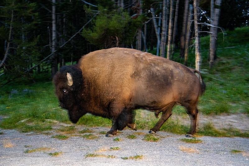 bison - - 190.jpg