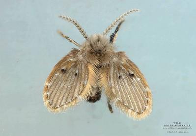 Drain Flies (Psychodidae)