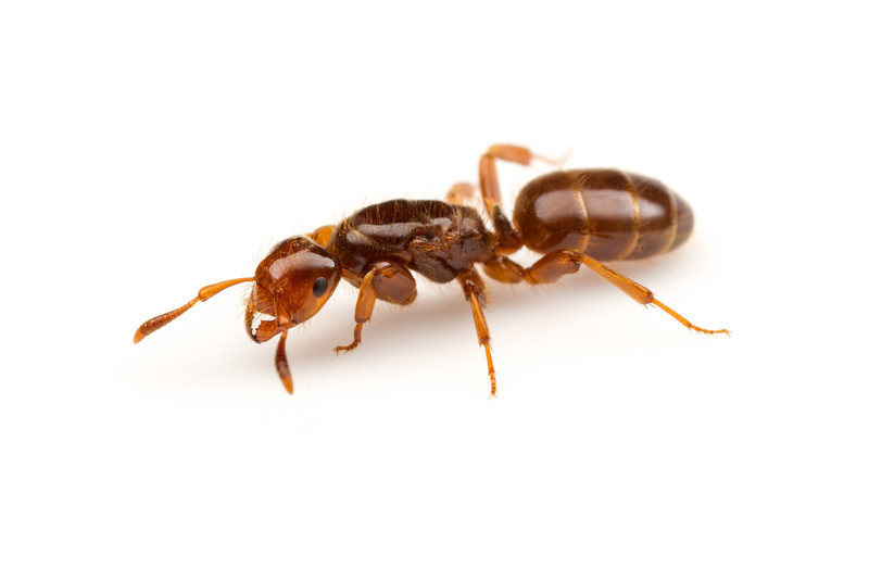 Lasius latipes