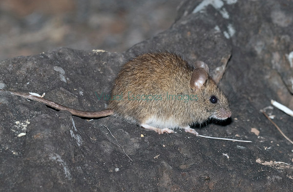 Endemic Rats