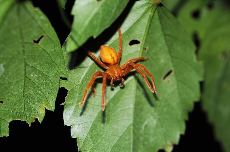 Leaf rolling  spider.jpg