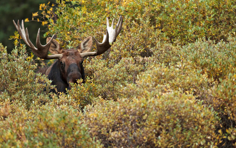 . A bull moose makes his way through willows and thick brush in a marshy field near Georgetown, Colorado.  (Werner R. Slocum/The Denver Post)