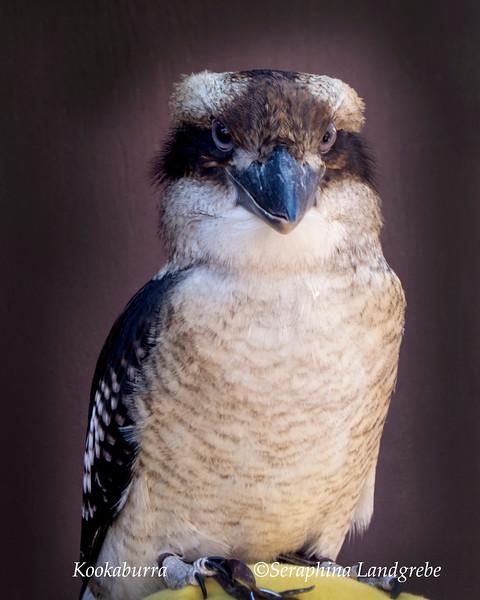 _DSC3380kookaburra Bird.jpg