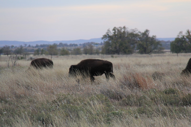 20171120-035 - Texas - Caprock Canyons SP - Buffalo.JPG