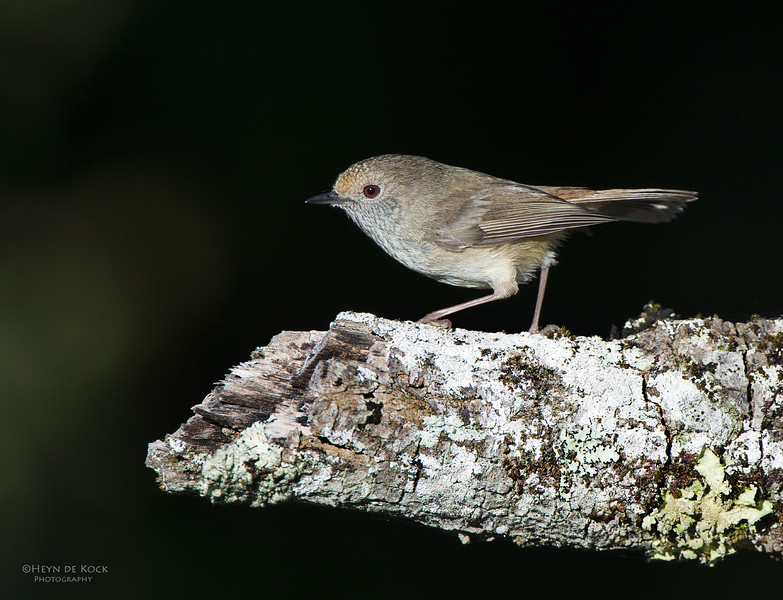 Brown Thornbill, Comerong Island, NSW, Sep 2012.jpg
