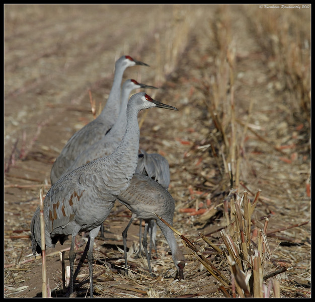 Sandhill Cranes foraging in the corn field, Bosque Del Apache, Socorro, New Mexico, November 2010