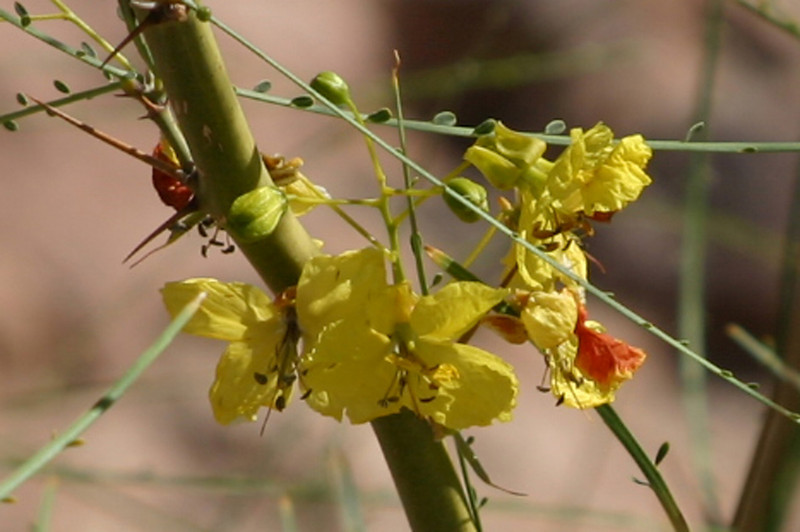 "I couldn't find this plant in my Field Guide, but my useful Mom said ""how about Palo Verde?"" and I believe she's right. Thanks, mom! (Parkinsonia aculeata.)"