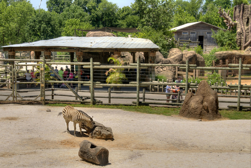 A zebra at the Knoxville Zoo in Knoxville, TN on Saturday, June 7, 2014. Copyright 2014 Jason Barnette