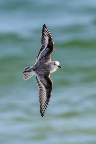 Sanderling - St. George Island State Park - FL