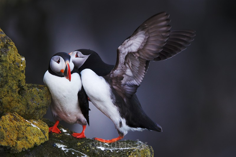 Atlantic Puffin lands on the edge of a Látrabjarg cliff