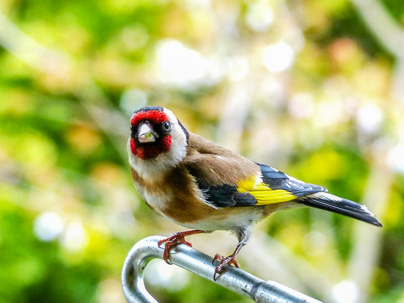 P1020941 - Goldfinch.jpg