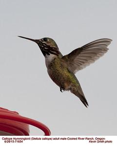 Calliope Hummingbird M71654.jpg