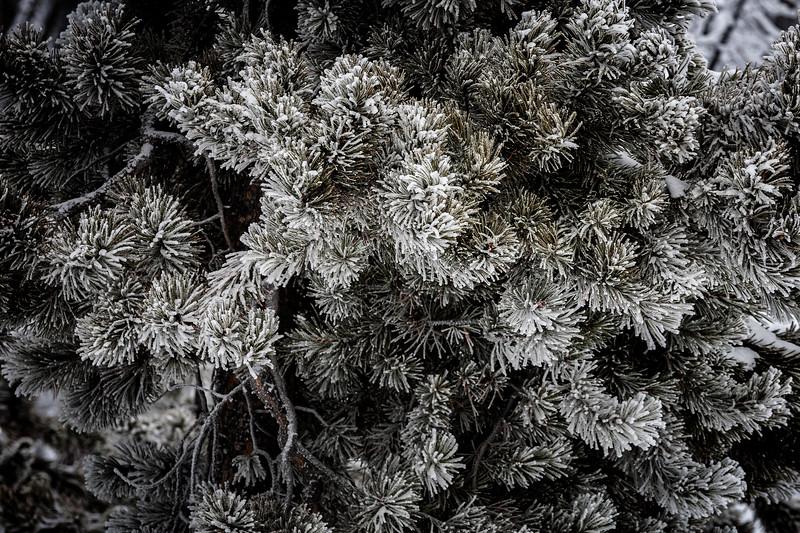Ice Covered Lodge Pole Pine