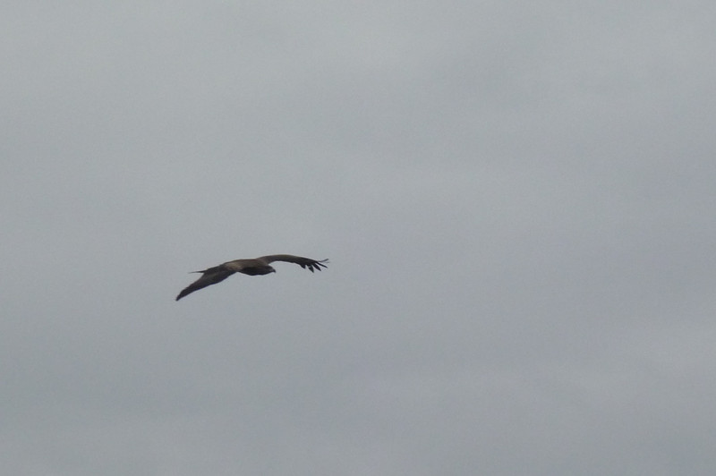 A hawk soaring over the track.  They were all over, dozens of them.  Like we have seagulls.  They were moving so fast I wasn't able to get a good shot of a group of them so that they were recognizable.